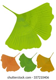Ginkgo biloba isolated leaf. Ginkgo biloba medicinal tree with anti-oxidant effect. Three color variants - green, yellow, orange.