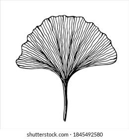 Ginkgo biloba leaf, isolated hand drawn black and white vector illustration on white background
