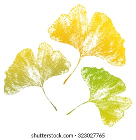 Ginkgo Biloba leaf vein in autumn colors isolated on white