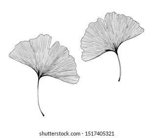 Ginkgo biloba leaves vector hand drawn illustration