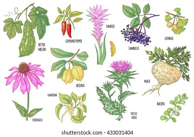 Ginkgo biloba, sambucus, turmeric, maca, Arjuna, Bacopa, cayenne pepper, bitter melon, Gymnema, Echinacea flower, thistle milk isolated on white background. Illustration set of vector Ayurvedic herbs.