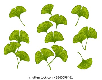 Ginkgo or Gingko Biloba branches and leaves set. Nature botanical vector illustration, herbal medicine graphic in green isolated over white.
