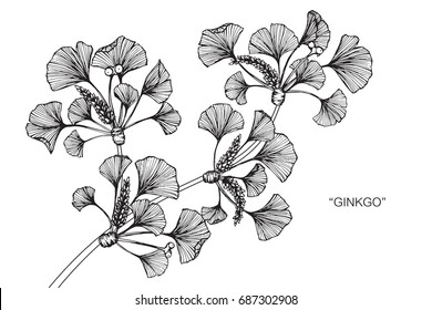 Ginkgo leaves by hand drawing and sketch with line-art on white backgrounds.