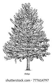 Ginkgo tree illustration, drawing, engraving, ink, line art, vector