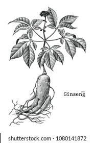 Ginseng hand drawing vintage engraving illustration