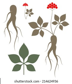 Ginseng. Isolated plant and root on white background. Ginseng leaf. Vector illustration