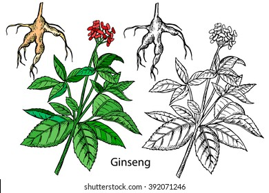 Ginseng. Panax trifolius. Hand drawn decorative ginseng, design element. Vector illustration branch.