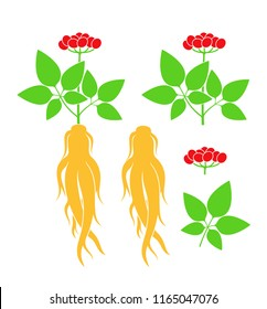 Ginseng plant. Isolated ginseng on white background. EPS 10. Vector illustration