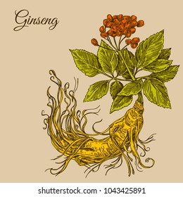 Ginseng  root. Color. Engraving style. Vector illustration.