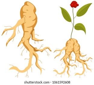 Ginseng root with leaves and flower. Vector cartoon set of plants isolated on white background.