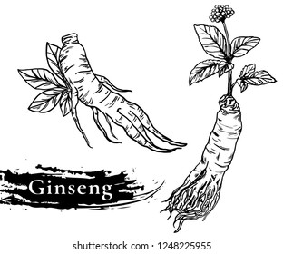 Ginseng vector drawing. Medical plant sketch. Engraved botanical object. Hand drawn root, berry, slice and powder. Alternative medicine, beauty, cosmetic and herbal therapy ingredient.