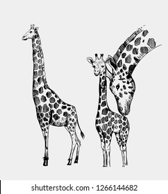 Giraffe sketch. Hand drawn illustration converted to vector