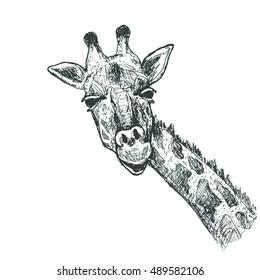 Giraffe sketch illustration