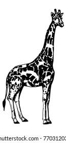 Giraffe standing figure sketch. Vector ink illustration of african mammal