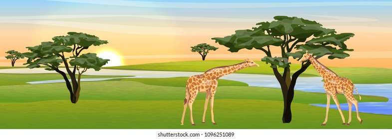 Giraffes eat the foliage of acacia trees in the African savannah. River, watering. Realistic vector landscape. The nature of Africa. Reserves and national parks.
