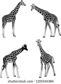 giraffes sketch illustration set - vector