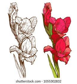 Gladiolus branch with red flowers and green leaves ink hand drawn sketch line art illustration isolated on white background