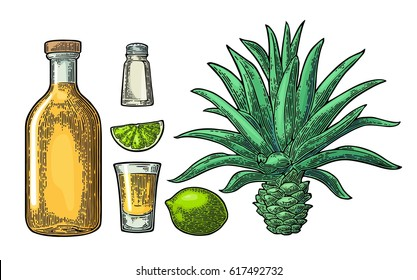 Glass and bottle of tequila. Cactus blue agave, salt and lime. Hand drawn sketch set of alcoholic cocktails. Vintage color vector engraving illustration for label, poster. Isolated on white background