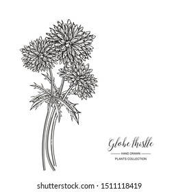 Globe thistle flowers isolated on white background. Medicinal plants collection. Vector illustration engraved. Black and white.