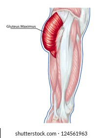 Gluteus Maximus - didactic board of anatomy of leg human muscular system