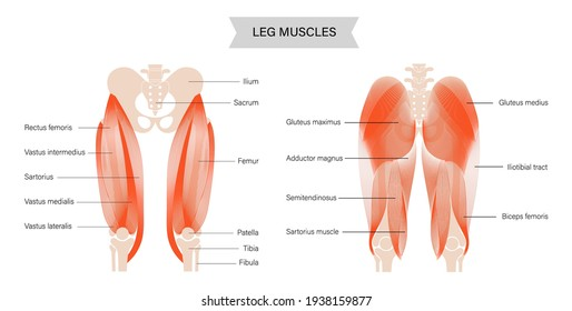 Gluteus medius, gluteus maximus and quadriceps muscles. Human muscular system. Pelvis and hip bones skeleton anatomical poster. Bodybuilding, workout, strong body concept. Isolated vector illustration