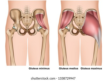 gluteus muscle anatomy 3d medical vector illustration on white background