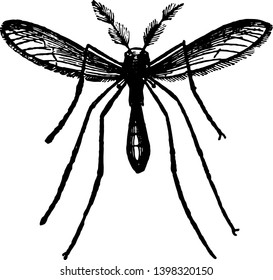 The Gnat is a member of the Culicidae family vintage line drawing or engraving illustration.