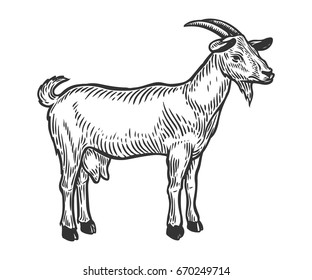 Goat farm animal livestock. Hand drawn sketch in a graphic style. Vintage vector engraving illustration for poster, web. Isolated on white background.
