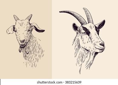 goat, hand drawn illustration, portrait