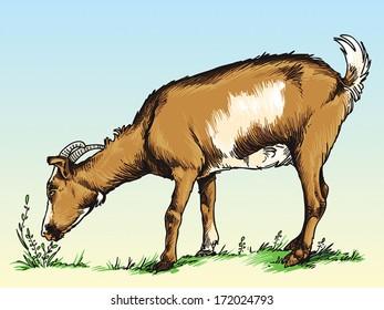 Goats eat grass in a field