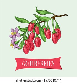 Goji berries on a branch. Engraving vintage vector color illustration. Isolated on light green background. Superfood goji berries. Hand drawn design element for label and poster