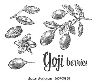 Goji berries on a branch. Engraving vintage vector black illustration. Isolated on white background. Hand drawn design element for label and poster