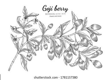 Goji berry fruit hand drawn botanical illustration with line art on white backgrounds.