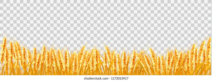 Gold wheat field on transparent background. Vector