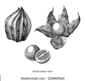 Golden berry vintage engraving illustration isolated on white background
