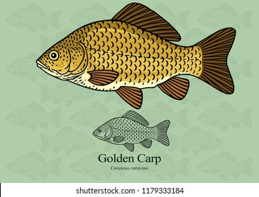 Golden carp. Vector illustration with refined details and optimized stroke that allows the image to be used in small sizes (in packaging design, decoration, educational graphics, etc.)