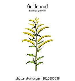 Goldenrod (Solidago gigantea), state flower of Kentucky and Nebraska, medicinal plant. Hand drawn botanical vector illustration