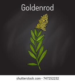 Goldenrod (Solidago virgaurea), or Woundwort, medicinal plant. Hand drawn botanical vector illustration