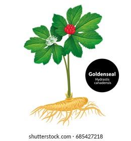 Goldenseal (Hydrastis canadensis) with leaf and flower. Vector iIllustration