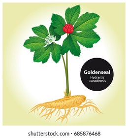 Goldenseal (Hydrastis canadensis) with leaf and flower. Vector i