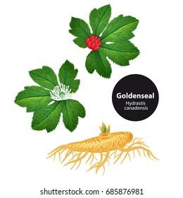 Goldenseal (Hydrastis canadensis) with leaf and flower. Vector Illustration