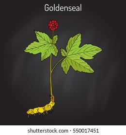 Goldenseal (Hydrastis canadensis), medicinal plant. Hand drawn botanical vector illustration