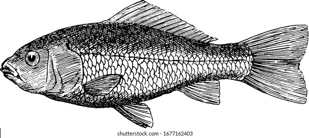 The goldfish, a freshwater fish in the family Cyprinidae of order Cypriniformes, native to East Asia and a small member of the carp family, vintage line drawing or engraving illustration.