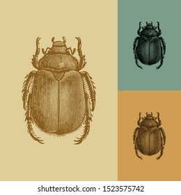 Goldsmith beetle vector. Vintage illustration drawing. Applied in colored backgrounds.
