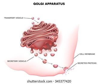 Golgi apparatus detailed illustration