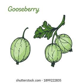 Gooseberry hand drawn vector illustration. Colorful gooseberries . Vector illustration.