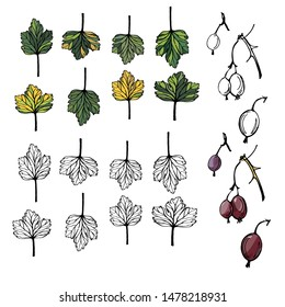 Gooseberry, set of drawn vector isolated colorful autumn leaves and gooseberries realistic on white and background