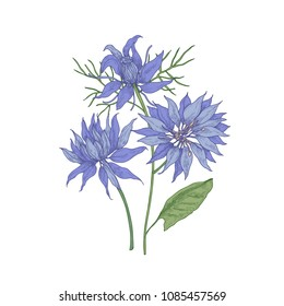 Gorgeous blooming blue Nigella flowers isolated on white background. Detailed botanical drawing of wild flowering plant or wildflower used in floristry. Hand drawn natural vector illustration