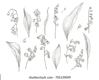 Gorgeous drawing of lily of the valley parts - flower, inflorescence, stem, leaves. Blooming plant hand drawn in vintage engraving style. View from different angles. Botanical vector illustration.