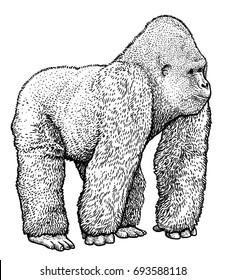 Gorilla illustration, drawing, engraving, ink, line art, vector